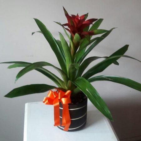 Bromelia Roja